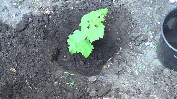 В летнее время сажают виноград в чернозем