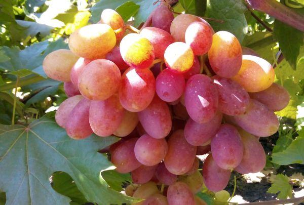 Плановую обрезку винограда проводят в осенний период