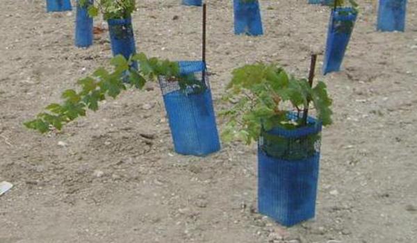 Виноград иногда страдает грибковыми заболеваниями