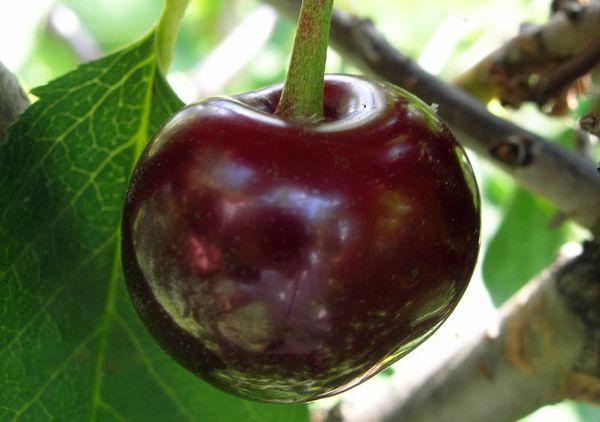 Плоды сорта Встреча крупные, темно-красные