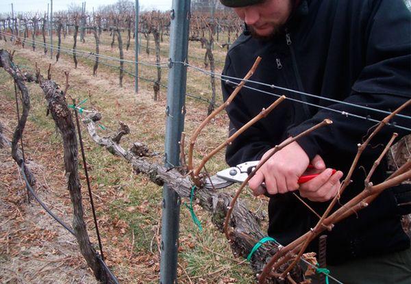 Обрезка винограда повысит его урожайность