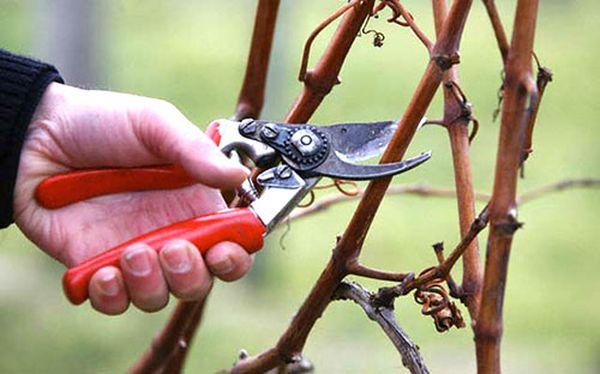Формирующая обрезка садового винограда
