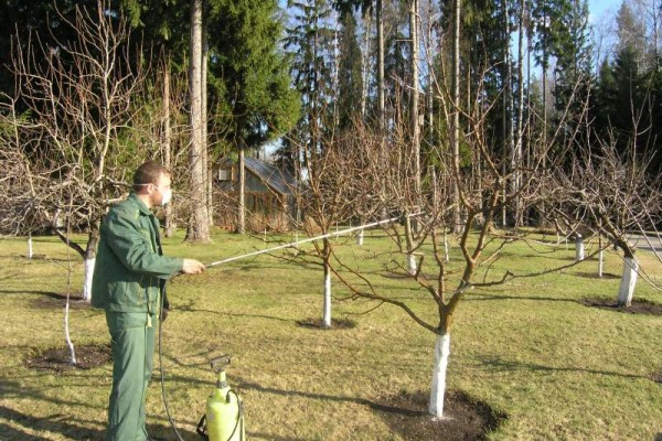 Опрыскивание грушевых деревьев бордоской жидкостью