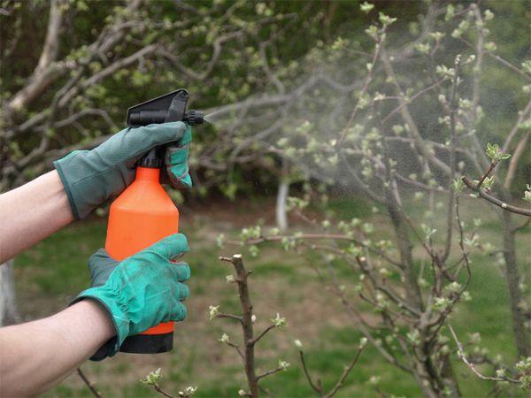 Начинать лечение сада следует весной