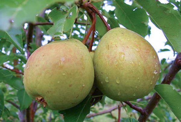 Гуша Сварог часто поражаются грушевой плодожоркой
