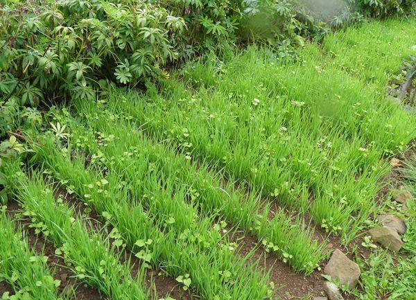 Сидераты доминируют над сорняками