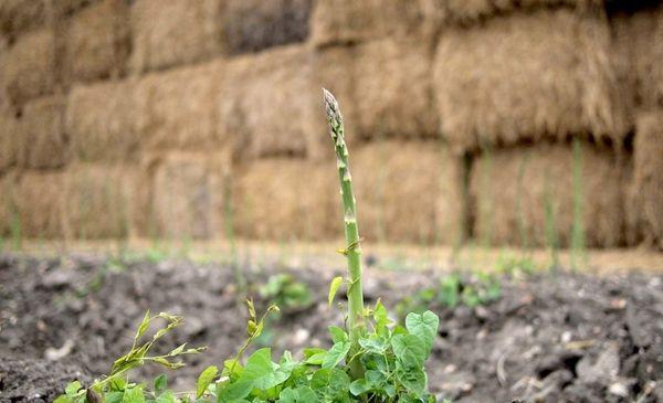 Растение устойчивое к поражениям инфекционными заболеваниями