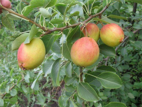 По форме фрукты отдаленно напоминают яблоки