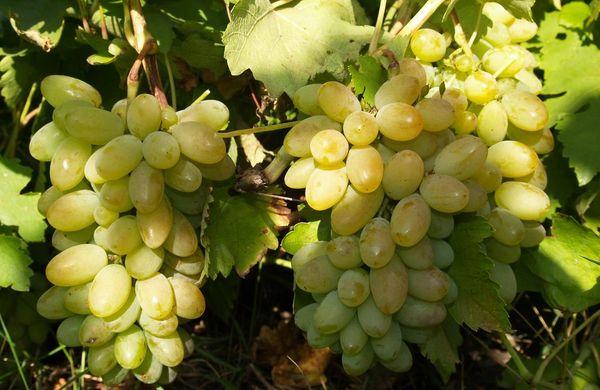 Виноград Восторг имеет хорошую морозостойкость