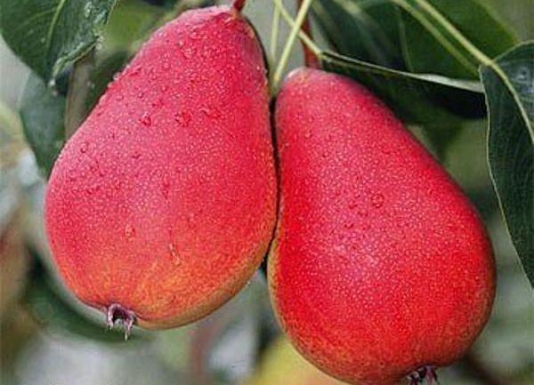 У сорта стабильно высокое плодоношение