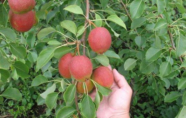 Преимуществами выращивания груши являются ее высокоурожайность