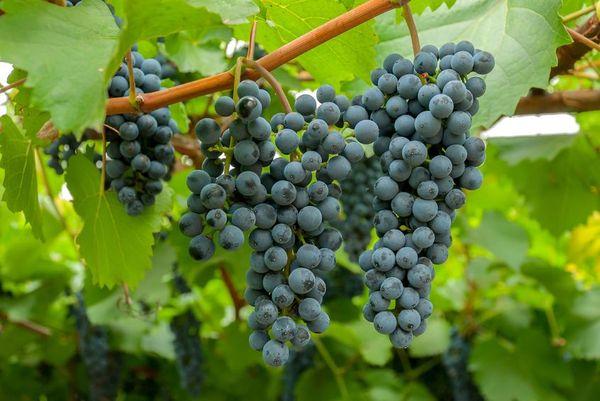 Популярный сорт винограда Амурский