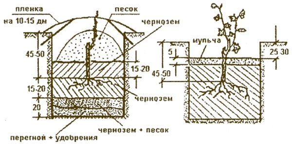Схема посадки винограда в грунт