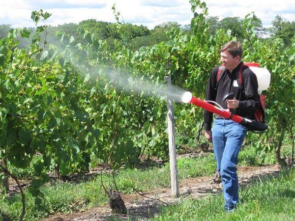 Опрыскивать кустов рекомендуется 2 раза в течение вегетативного периода
