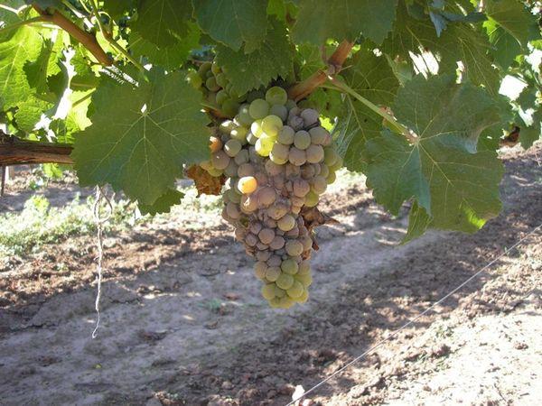 Лечение винограда от гнили на гроздьях – процесс трудоемкий