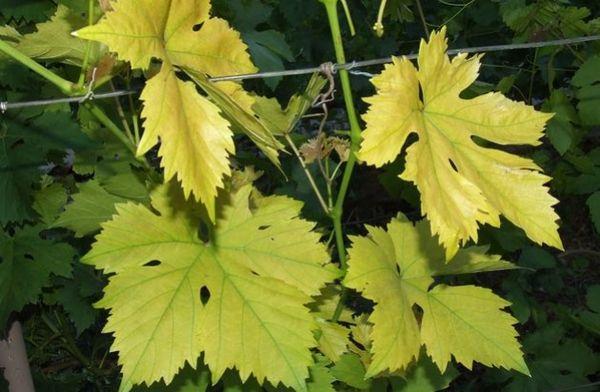 Желтые пятна на листьях винограда - признак недуга