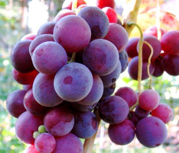 Виноград созревает около 100 дней