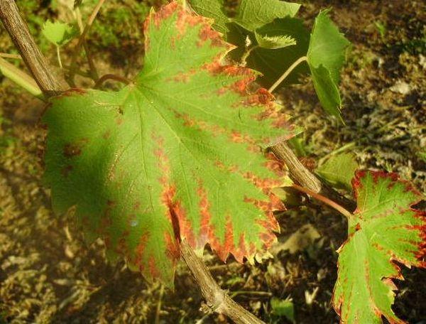 Неправильный уход отражается на состоянии листьев винограда