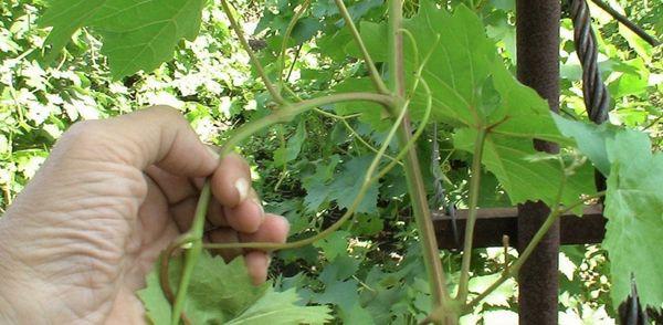 Прищипывание – стимуляция обильного плодоношения