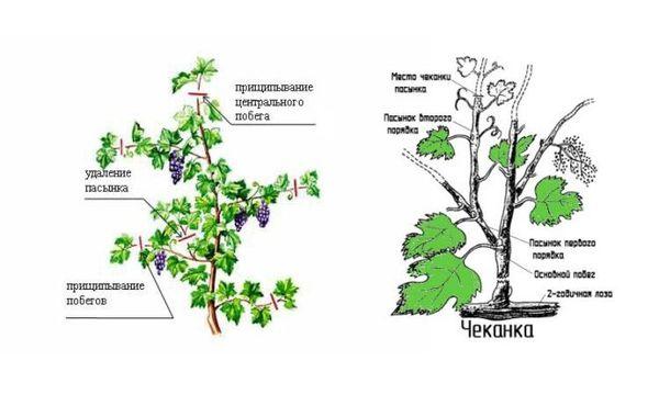 Чеканка винограда – удаление не вызревающих верхних частей побегов
