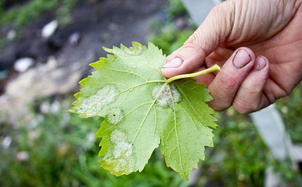 Мучнистая роса на листьях