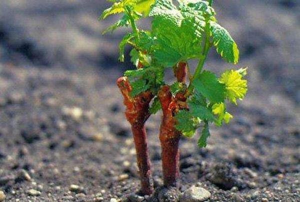 Виноград необходимо удобрять несколько раз в году