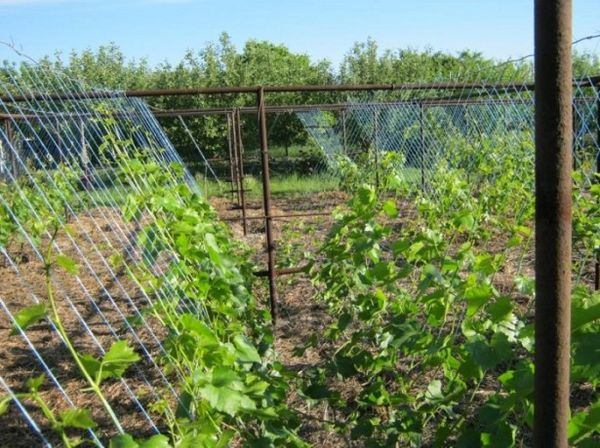 Подвязка винограда к шпалере проводится после начала сокодвижения