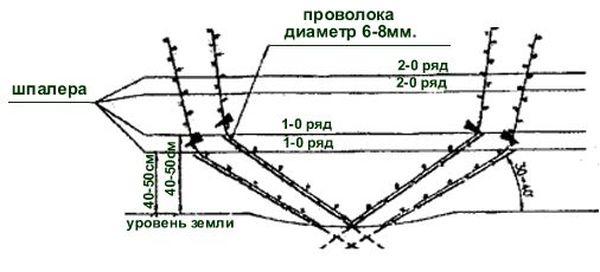 Схема подвязки лозы на шпалеру