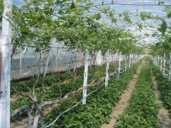 В летний период необходимо проводить поливы раз в неделю