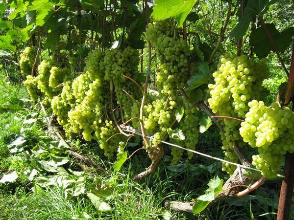 Сорт Аглая имеет плотные гроздья весом до 400 г
