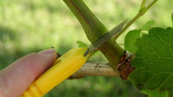 Уход за растением летом включает прививку растения