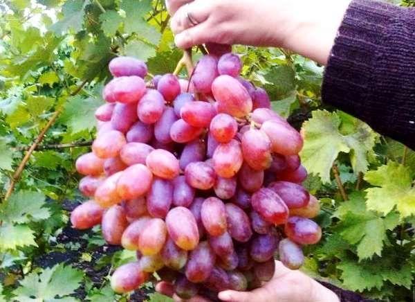 Вес каждой грозди в среднем составляет 700 г