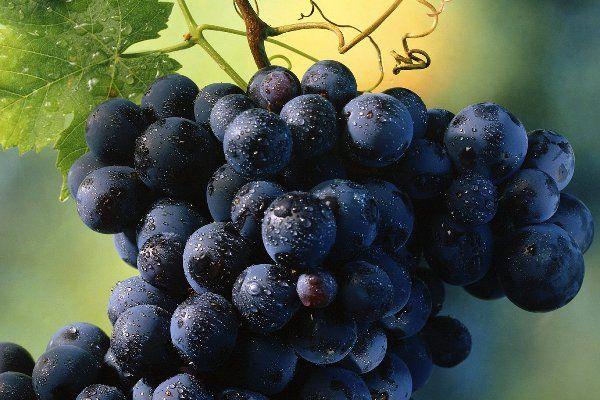 Виноград любят садоводы всей страны