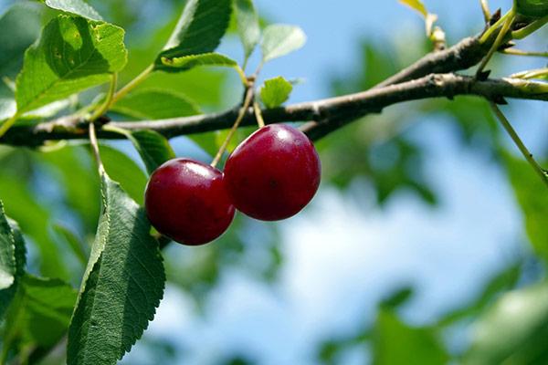 Плоды ранних сортов вишни созревают в июне