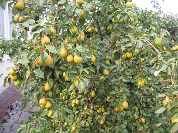 Первый грушевый урожай снимают с деревьев возрастом 3–4 года