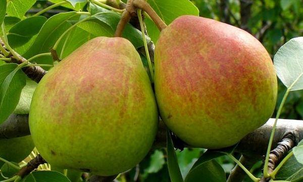 Груша Вековая славится крупными вкусными плодами