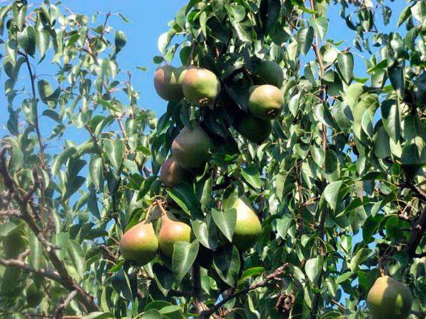 Весят плоды сорта от 60 до 80 г