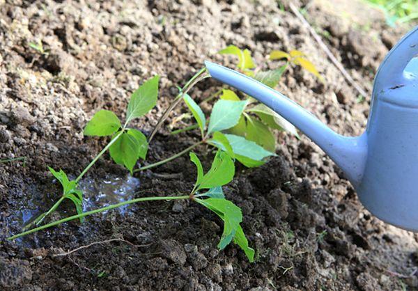 Садоводы советуют высаживать дикий виноград в сентябре – октябре