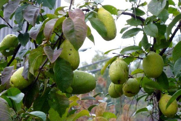 Айва обыкновенная – растение неприхотливое