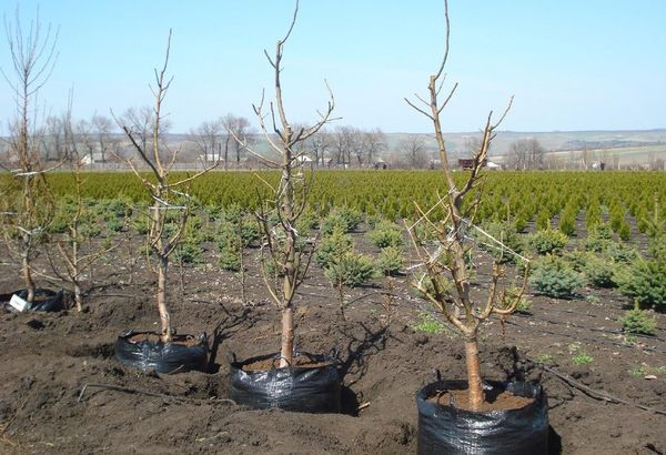 Посадка персика возможна весной или осенью