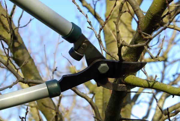 Обрезка персика осенью –  важная процедура