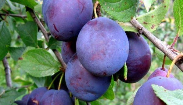 Слива Евразия отличается ранним созреванием плодов