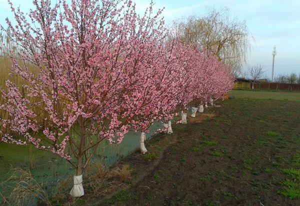 Персик – очень теплолюбивое дерево