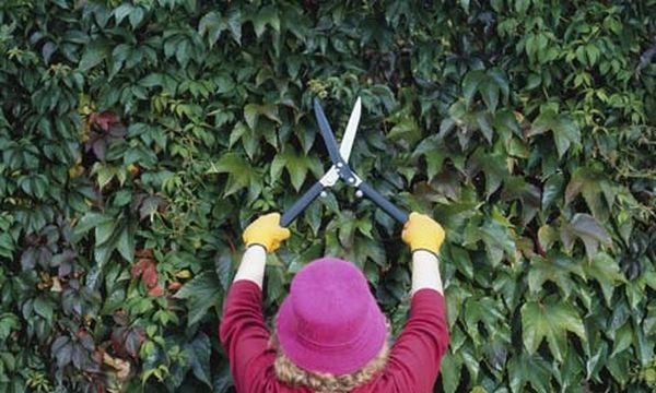 Нужно вовремя проводить обрезку винограда