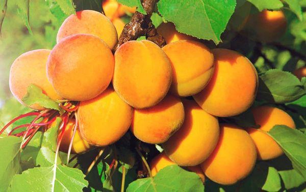 Абрикосы в Подмосковье полезные советы по выращиванию