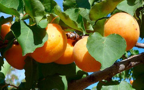 В Крыму сезон абрикосов приходится на раннее время
