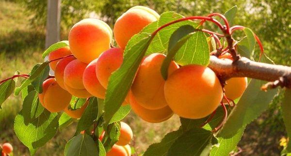Ранние абрикосы собирают в период с 25 июня по 5 июля
