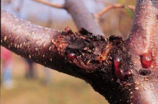 Грибок Валса на дереве