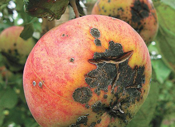 Парша относится к распространенным болезням абрикосов