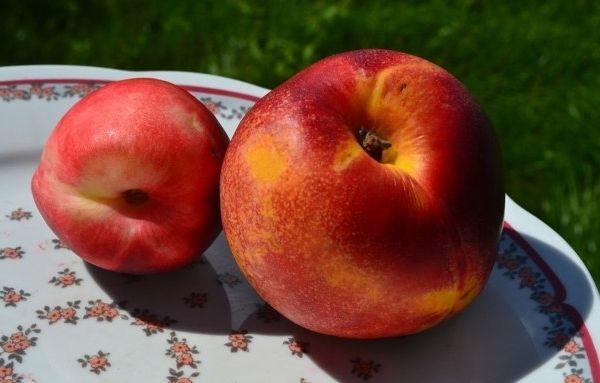 Гибрид абрикоса и персика